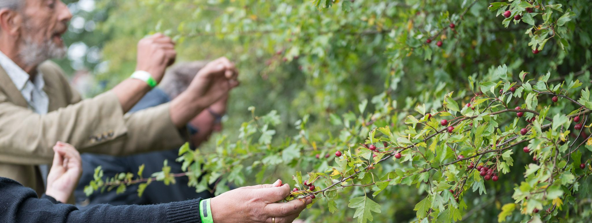 Chris Phyto wild food hands picking Hawthorn berries